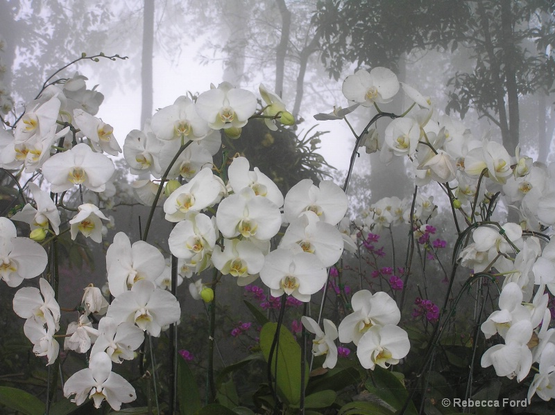 Orchids in Fog