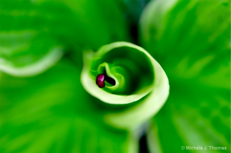 Red Bud Tree Bud, Being Swallowed By Hosta !