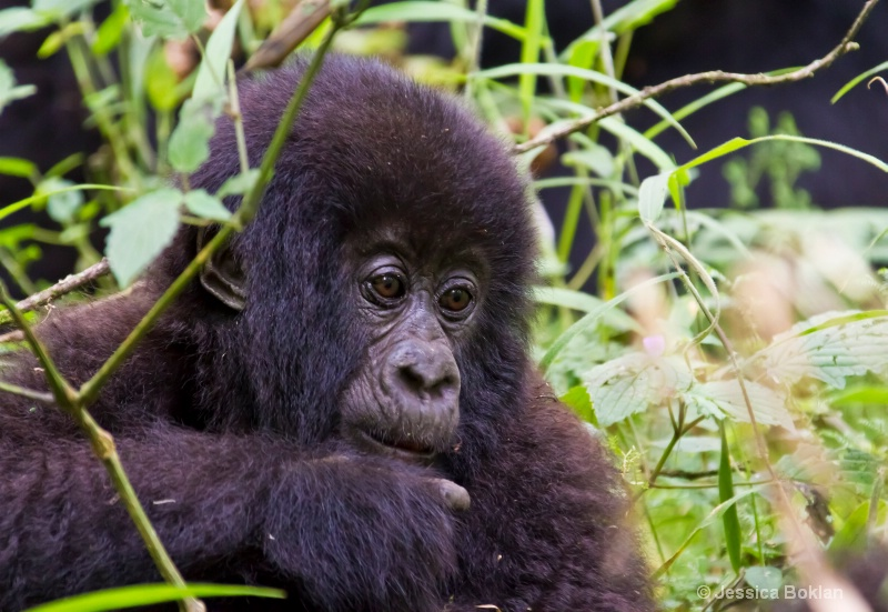 Young gorilla  [Agashya family (Group 13)]
