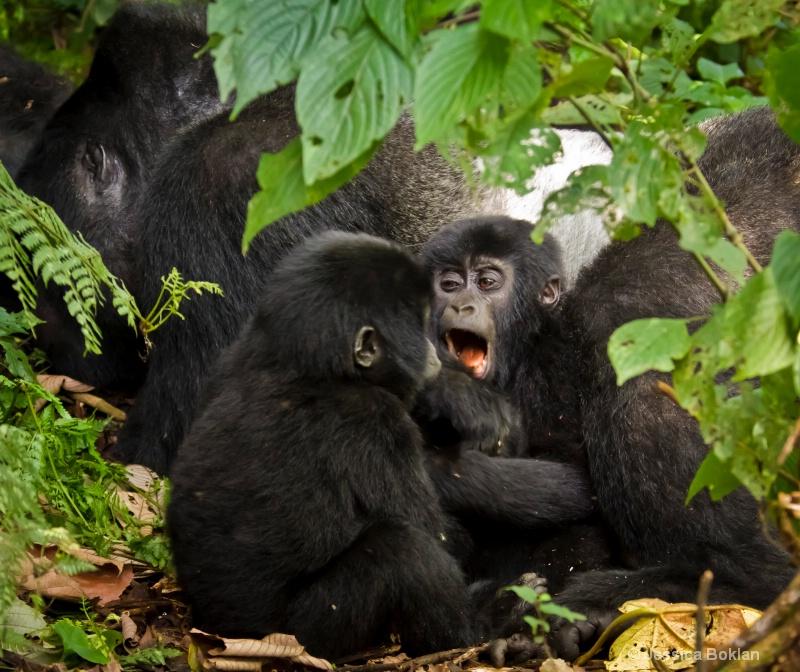 Young gorillas playing by silverback  [Habinyanja]