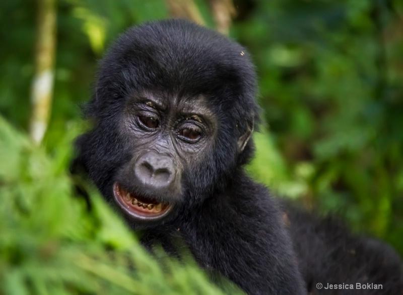Young gorilla  [Habinyanja family]