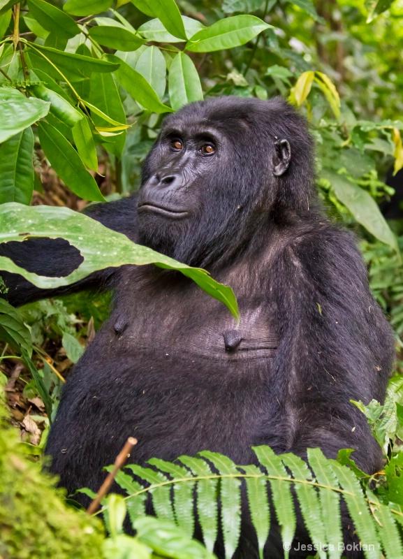 Adult female gorilla  [Habinyanja family]