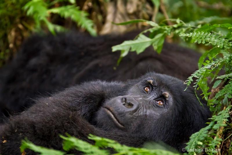 Adult gorilla  [Habinyanja family]