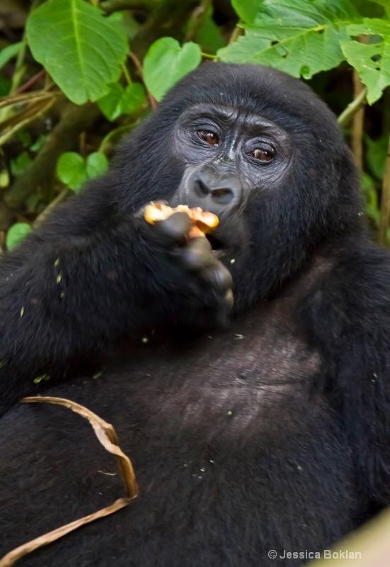 Gorilla visiting human campsite [Rushegurs family]