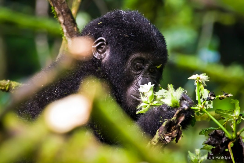 Young gorilla  [Rushegurs family]