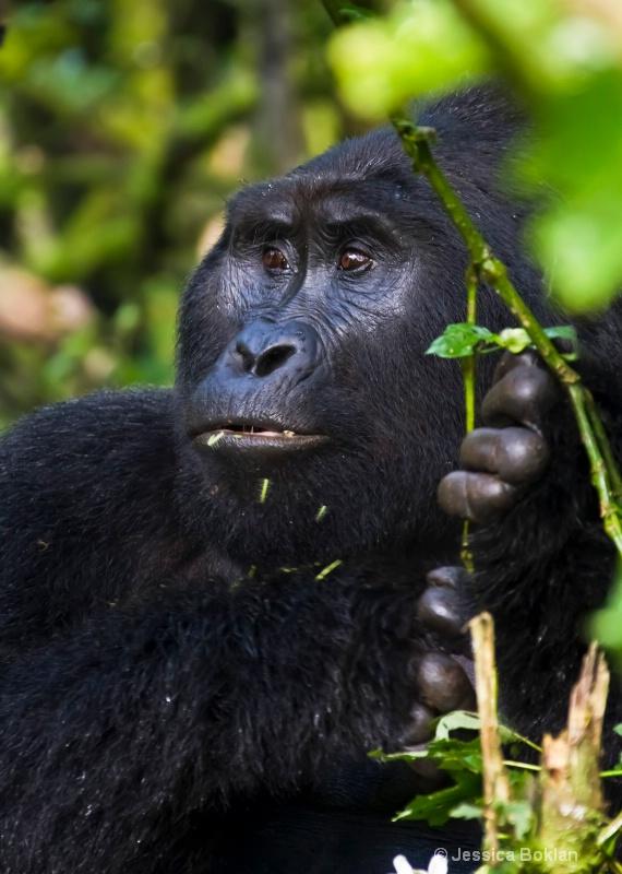 Adult gorilla  [Rushegurs family]