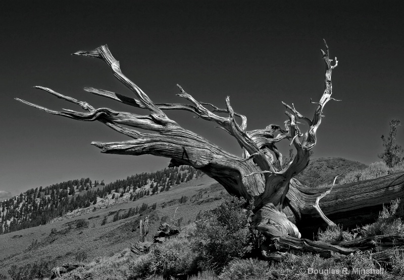 Bristlecone Pine B&W
