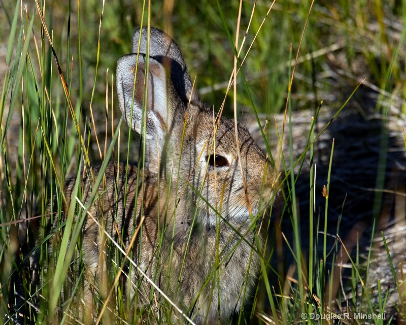 Mono Lake Bunny