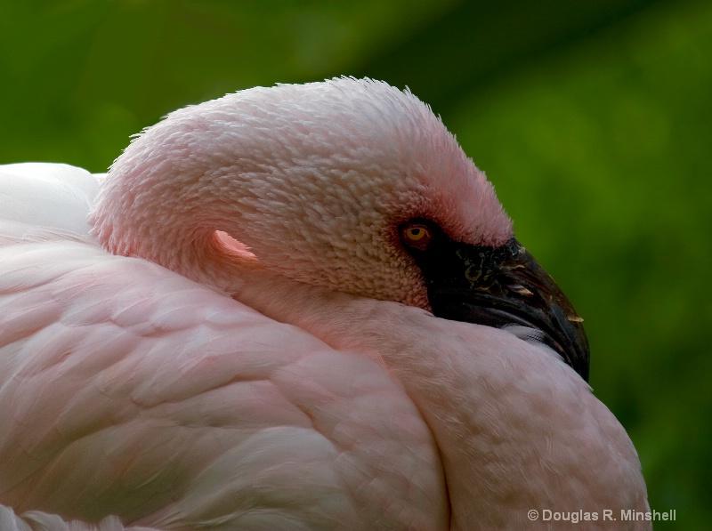 Hawaiian Flamingo 3