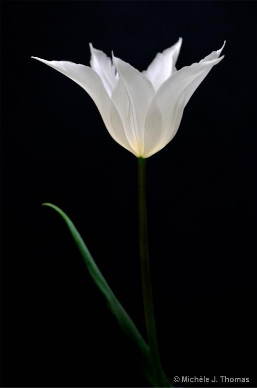 White Tulip !