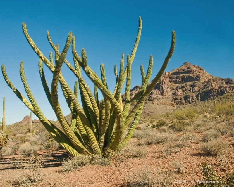Organ pipe cactus  in national monument