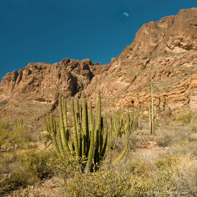 Organ pipe cactus at Organ Pipe National Monument