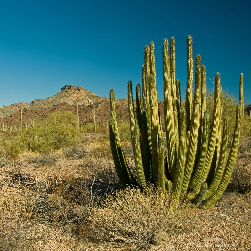 Organ Pipe Cactus in the Sun