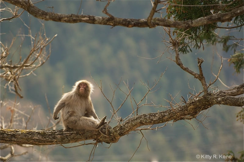 Japanese Macaque High in the Tree