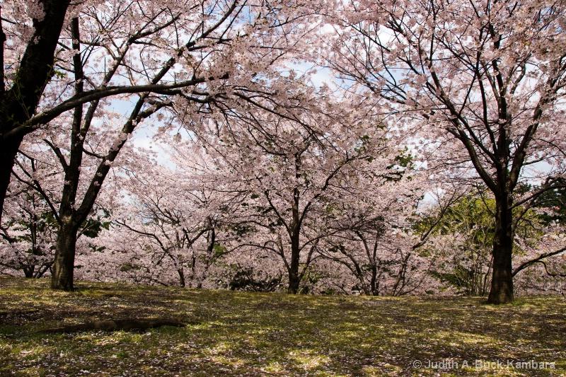 Hakusan Park Sakura