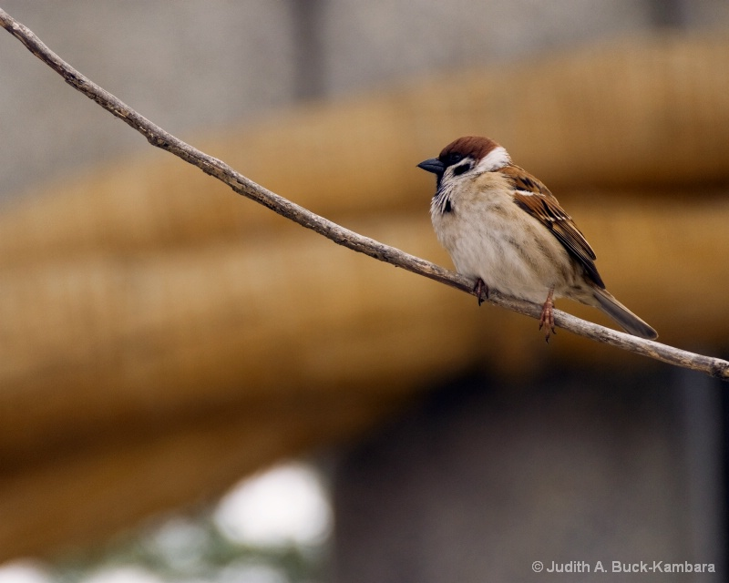 sparrow on twig