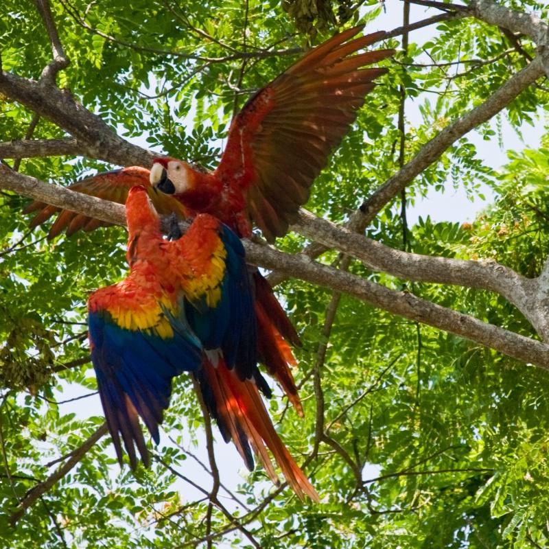 Macaw Fight