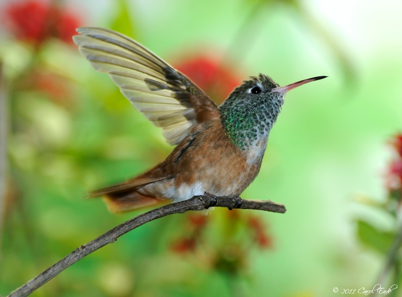 Amazilian Hummingbird