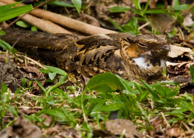 Nesting Nighthawk