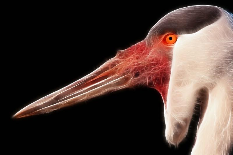 Wattled Crane Profile--Fractalius
