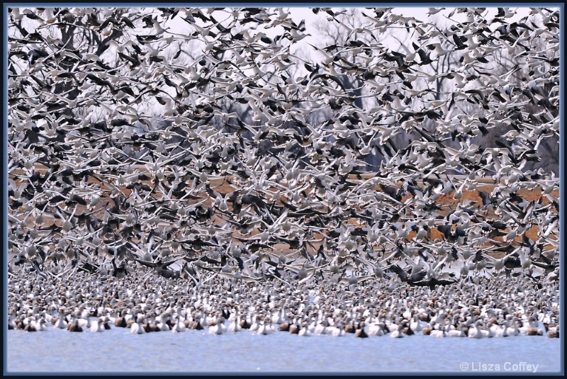 Snow Geese explosion