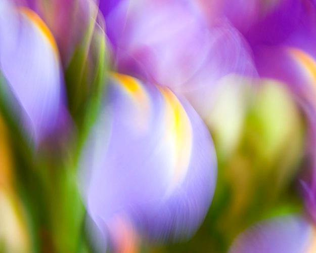 dancing iris 3