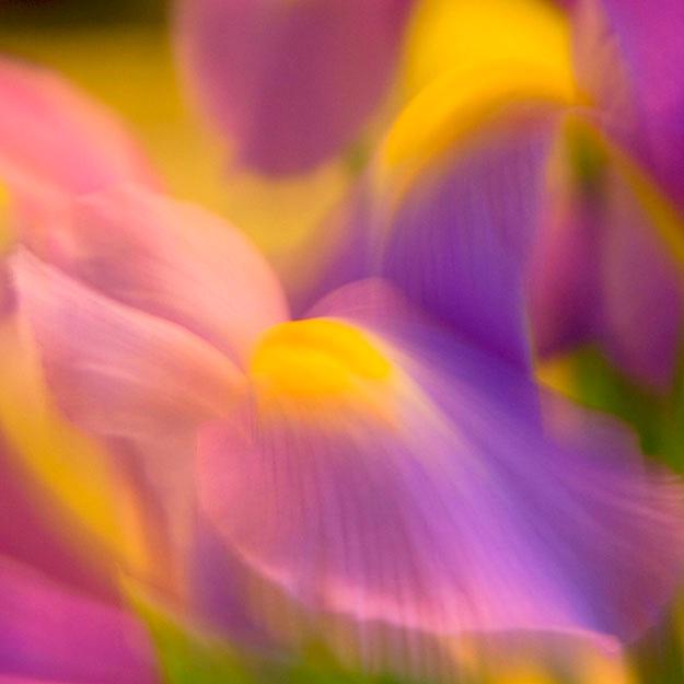 dancing  iris 2