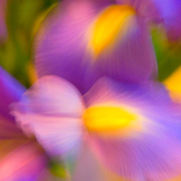 dancing iris 1