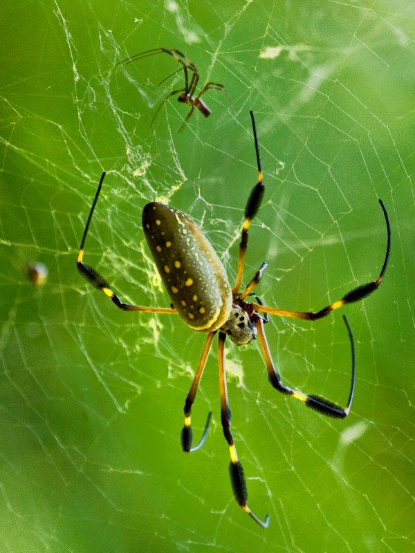 Golden Orb Couple