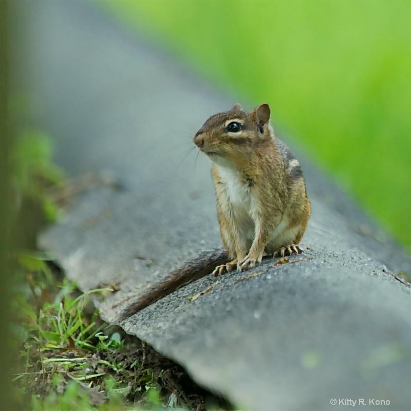 Sweet Little Chipmunk