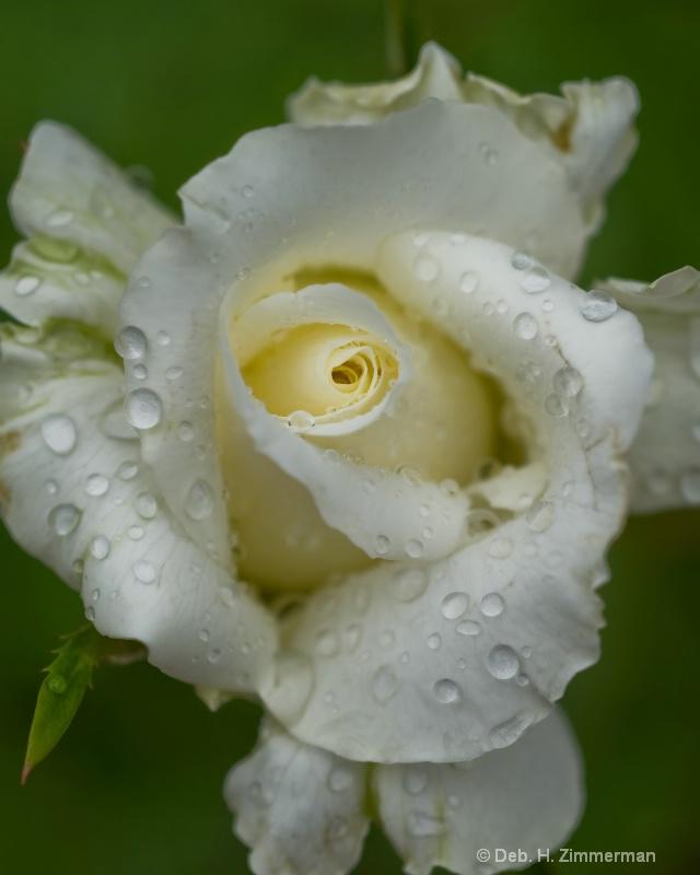 Raindrop on Spiraling White Rose