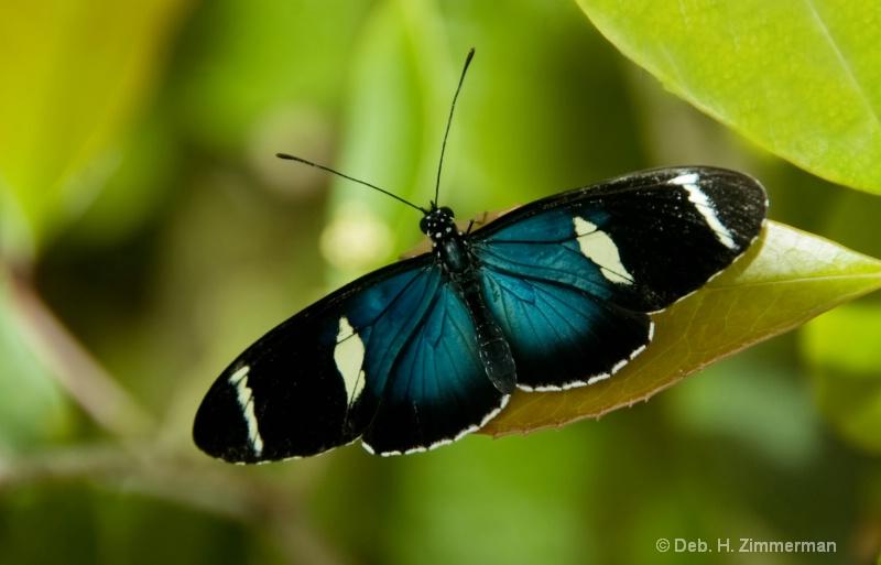 Blue Doris Longwing Butterfly
