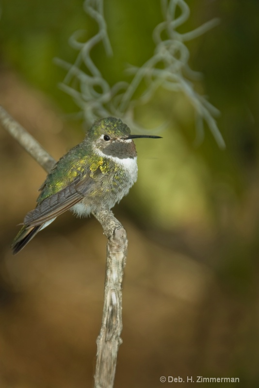 Broad-Tailed Hummingbird Juvenile
