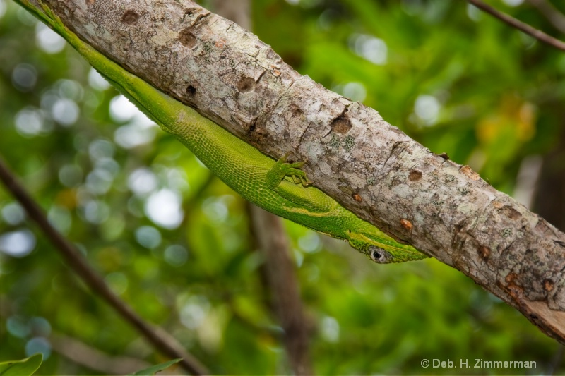 Hide and Seek Cuban Anole