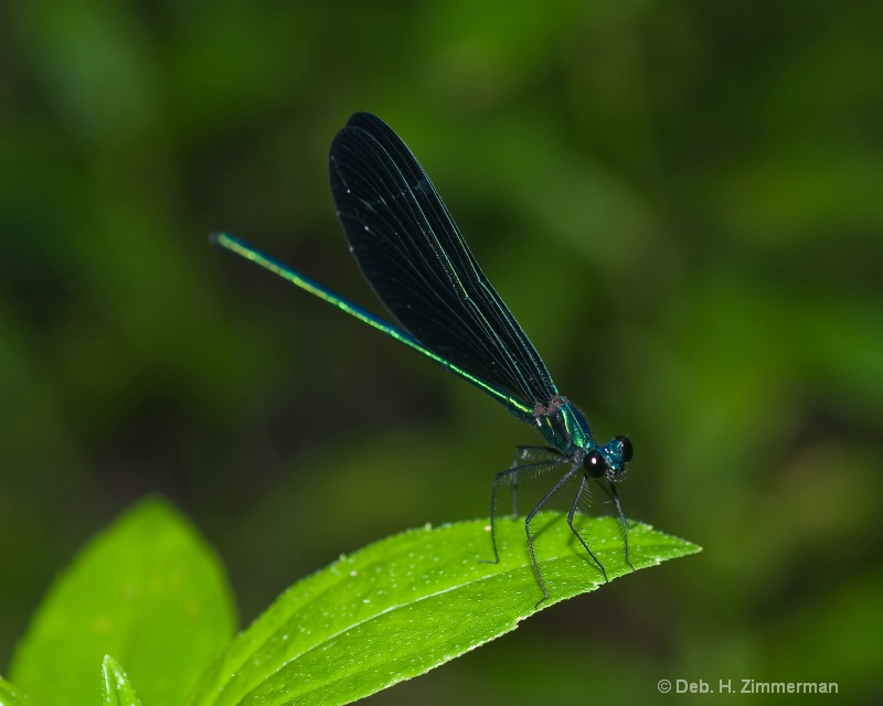Damselfly -Calopteryx Maculata -side view