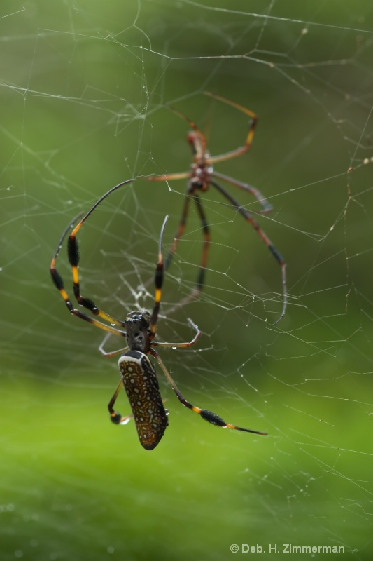 Golden orb Spiders in Almost Mirror Image