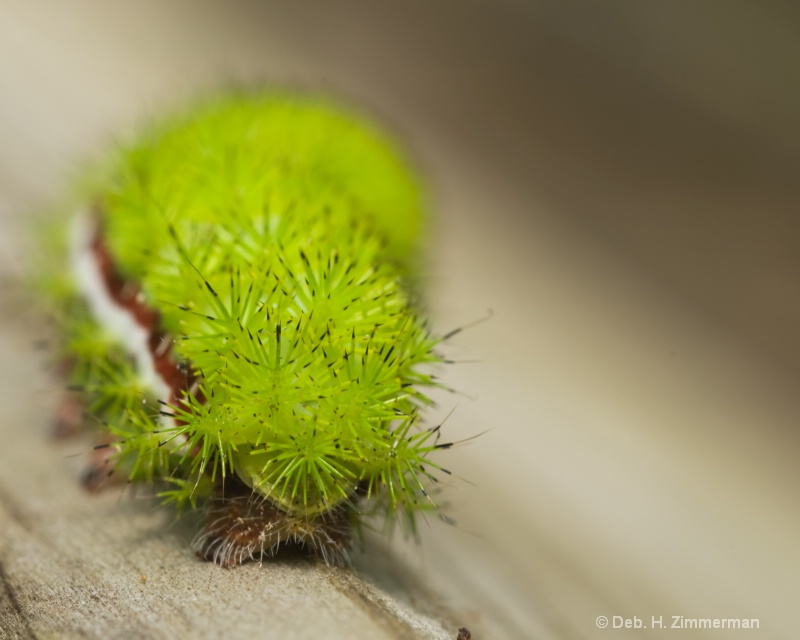 Io Moth Caterpillar -automeri io - leaving