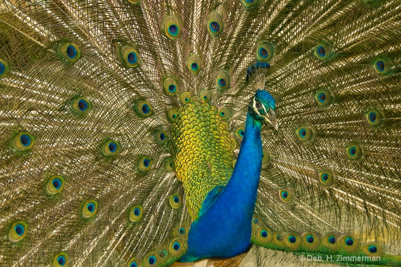 Peacock in Full Glory