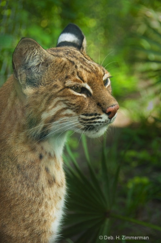Thoughtful Bobcat