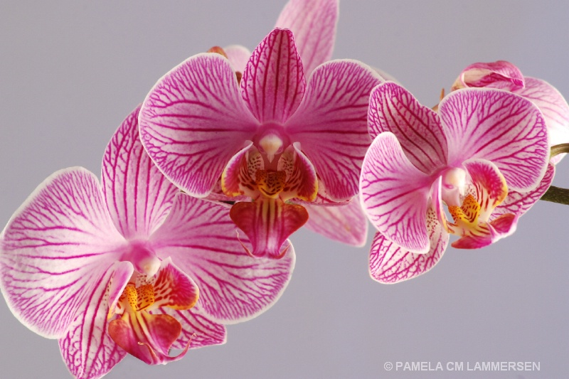 Orchid in Pink
