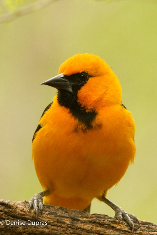Altimira Oriole