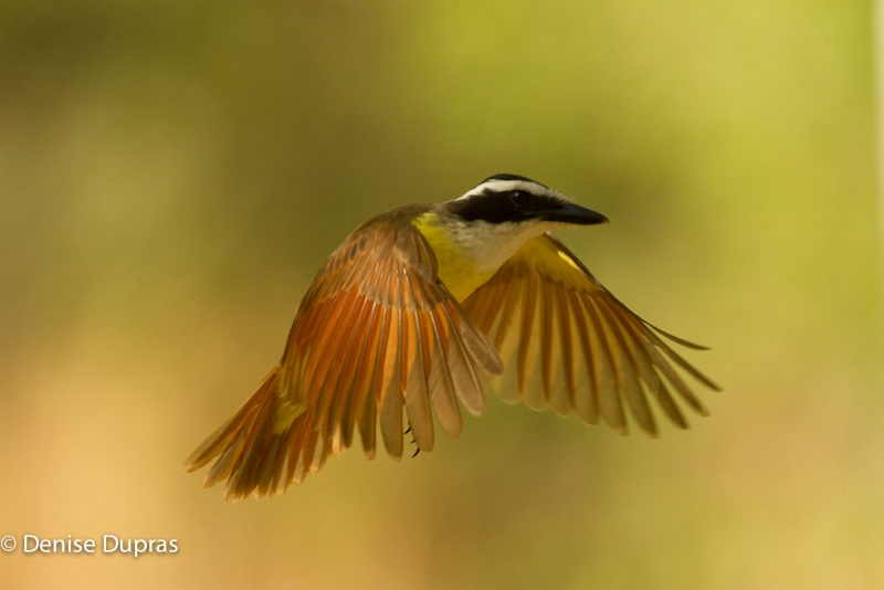 Great Kiskadee Flight