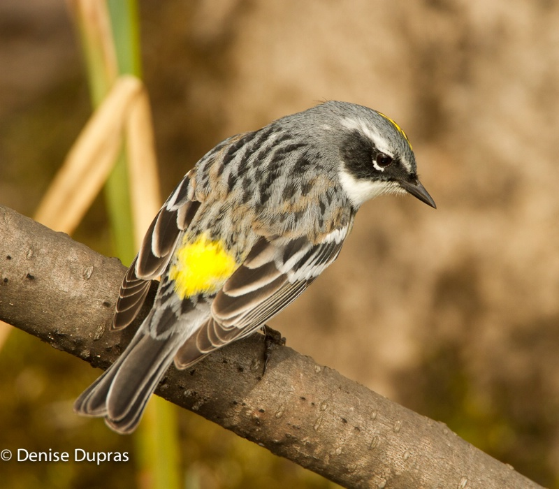 Yellow-rumped Warbler Male