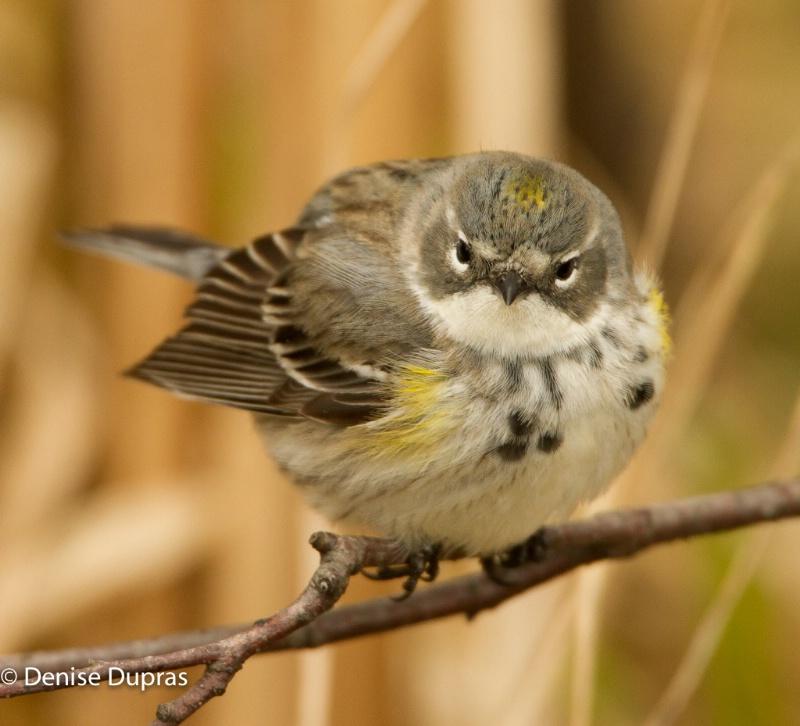 Yellow-rumped Warbler Female