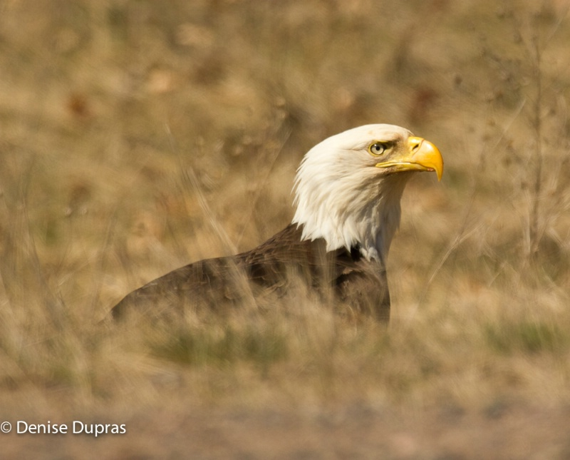 Bald Eagle in the Grass