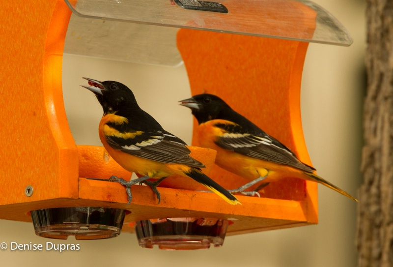 Orioles at Jelly Feeder