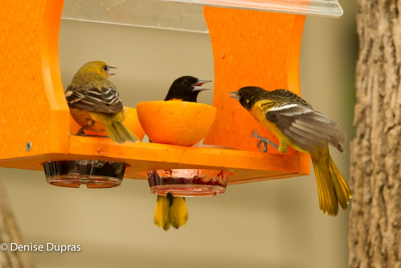 Orioles at Feeders