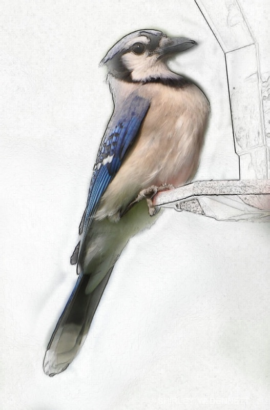 BLUE JAY PHOTOSHOPPED