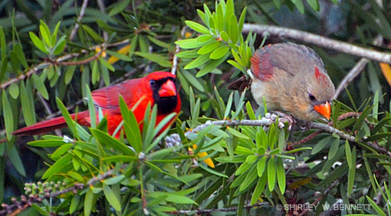MALE AND FEMALE CARDINAL IN BOTTLE BRUSH TREE