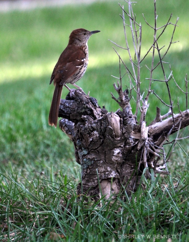 BACK YARD BIRD ON STUMP